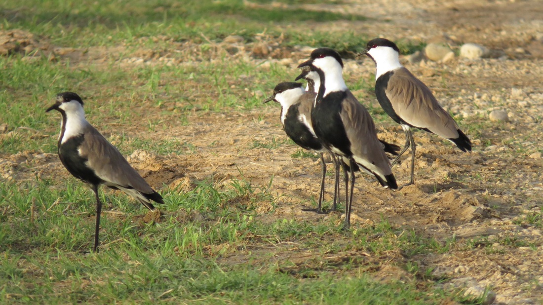 Spur Winged Lapwing family Cyprus Tours Bird Watching Birding Ecotours Wildlife Nature
