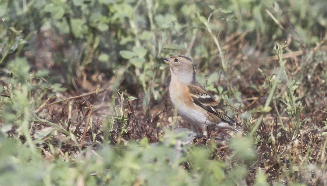 Brambling Cyprus Birding Tours Cyprus Bird watching Tours Cyprus Birds Bird is the Word ecotours birdguide