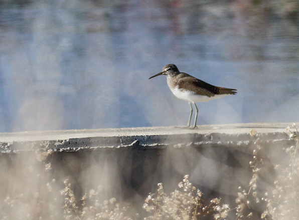 Green Sandpiper Cyprus Birding Tours Cyprus Bird Watching Tours Cyprus Bird Watching Cyprus Birding Cyprus Birding Guide Cyprus Ornithological Tours