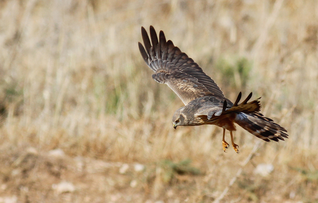 Montagus Harrier Cyprus Birding Tours Cyprus Bird Watching Tours Cyprus Bird Watching Cyprus Birding Cyprus Birding Guide Cyprus Ornithological Tours