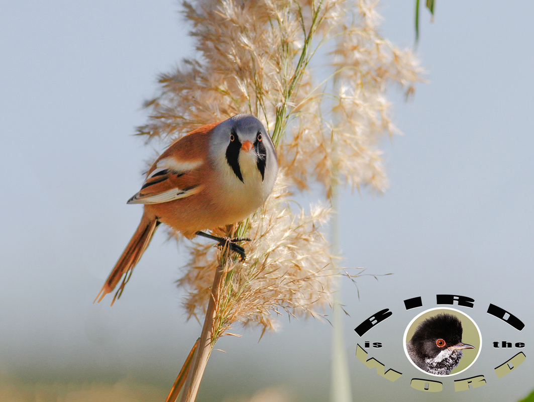 Bearded Reedling Tit Cyprus Birding Tours Cyprus Bird Watching Tours Cyprus Bird Watching Cyprus Birding Cyprus Birding Guide Cyprus Ornithological Tours
