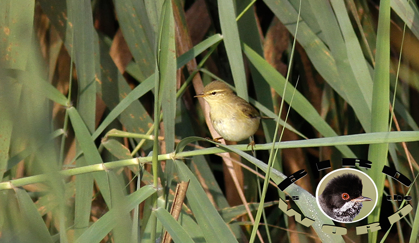 Willow Warbler Cyprus Birding Tours Cyprus Bird Watching Tours Cyprus Bird Watching Cyprus Birding Cyprus Birding Guide Cyprus Ornithological Tours