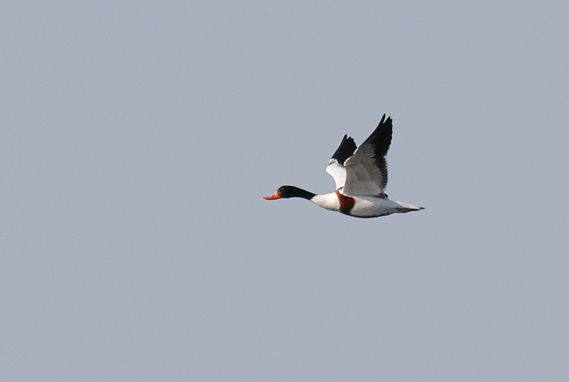 Common Shelduck Cyprus Birding Tours Cyprus Bird Watching Tours Cyprus Bird Watching Cyprus Birding Cyprus Birding Guide Cyprus Ornithological Tours