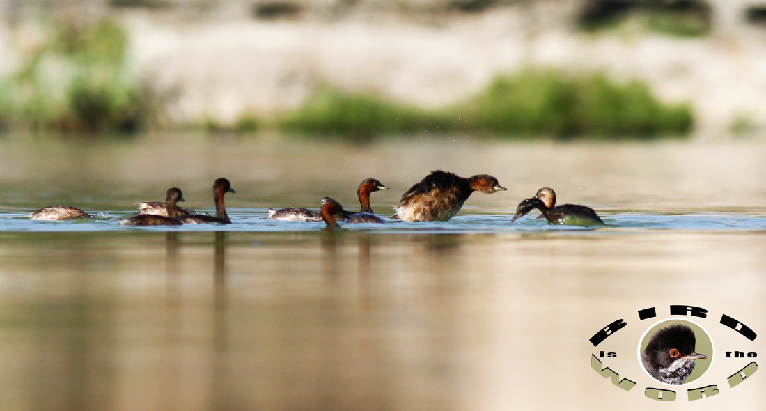 Little Grebe Cyprus Birding Tours Cyprus Bird Watching Tours Cyprus Bird Watching Cyprus Birding Cyprus Birding Guide Cyprus Ornithological Tours