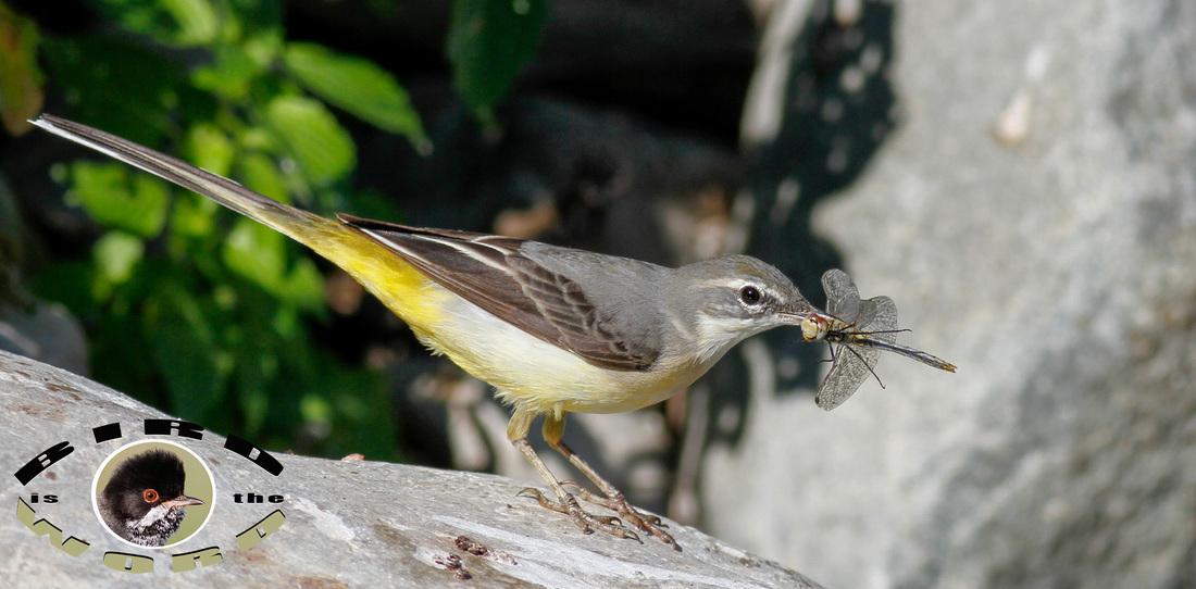 Grey Wagtail Cyprus Birding Tours Cyprus Bird Watching Tours Cyprus Bird Watching Cyprus Birding Cyprus Birding Guide Cyprus Ornithological Tours