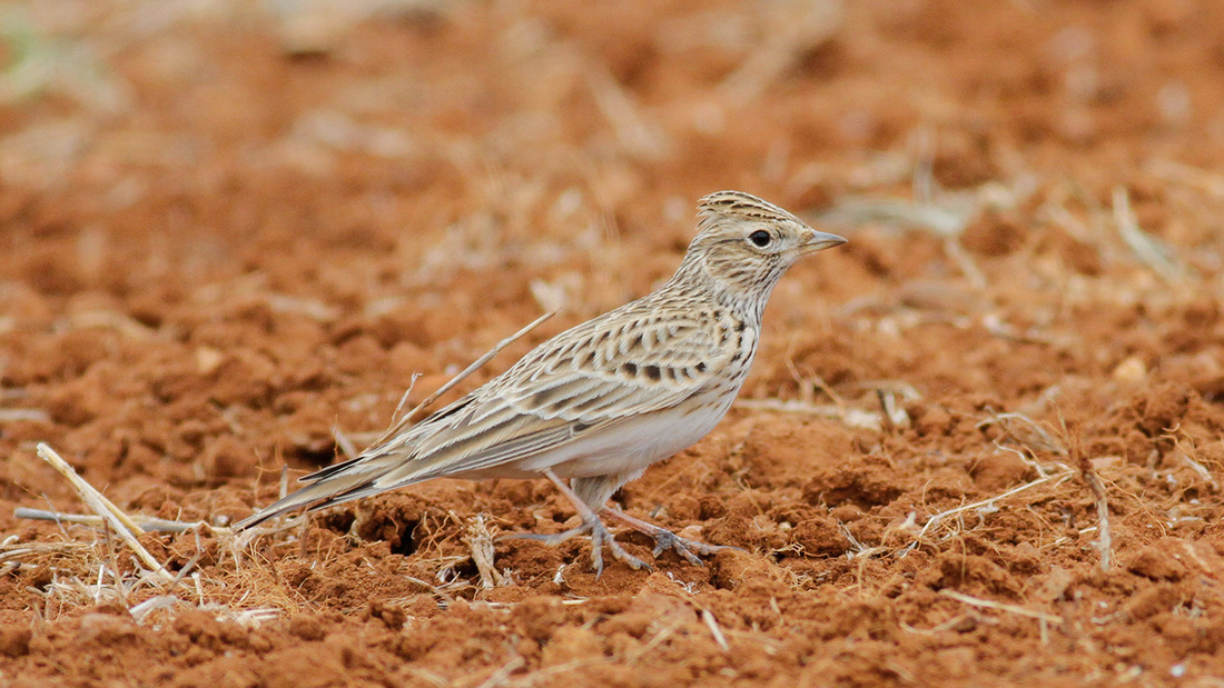Eurasian Skylark Cyprus Birding Tours Cyprus Bird Watching Tours Cyprus Bird Watching Cyprus Birding Cyprus Birding Guide Cyprus Ornithological Tours