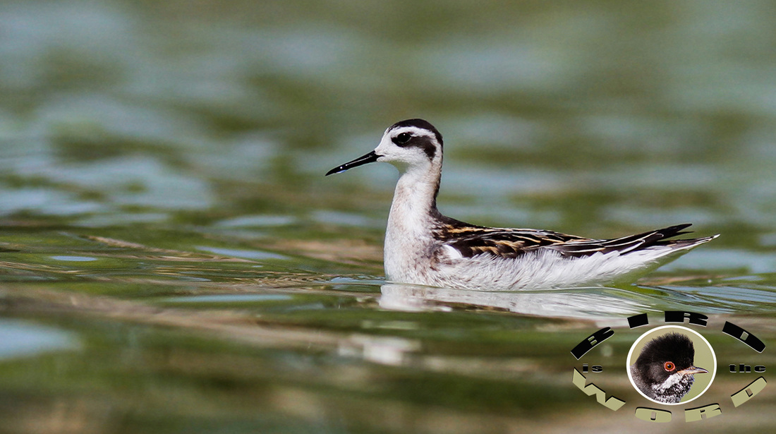 Red Necked Phalarope Cyprus Birding Tours Cyprus Bird Watching Tours Cyprus Bird Watching Cyprus Birding Cyprus Birding Guide Cyprus Ornithological Tours