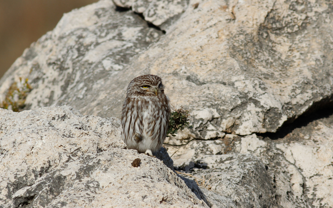 Little Owl Cyprus Birding Tours Cyprus Bird Watching Tours Cyprus Bird Watching Cyprus Birding Cyprus Birding Guide Cyprus Ornithological Tours