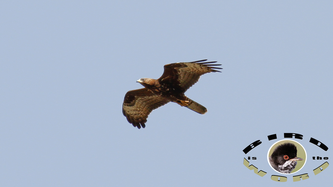 European Honey Buzzard Cyprus Birding Tours Cyprus Bird Watching Tours Cyprus Bird Watching Cyprus Birding Cyprus Birding Guide Cyprus Ornithological Tours