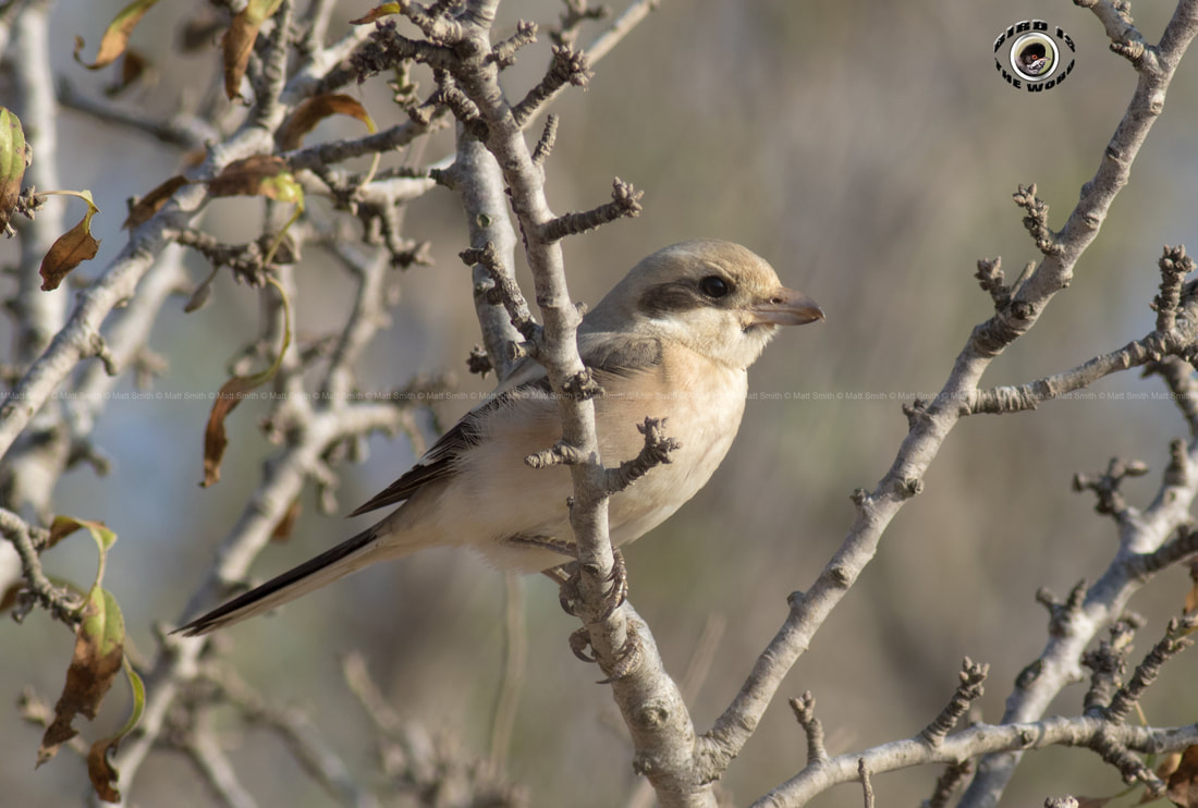 Steppe Grey Shrike rarity Cyprus Birding Birdwatching tours ecotours birdlife wildlife