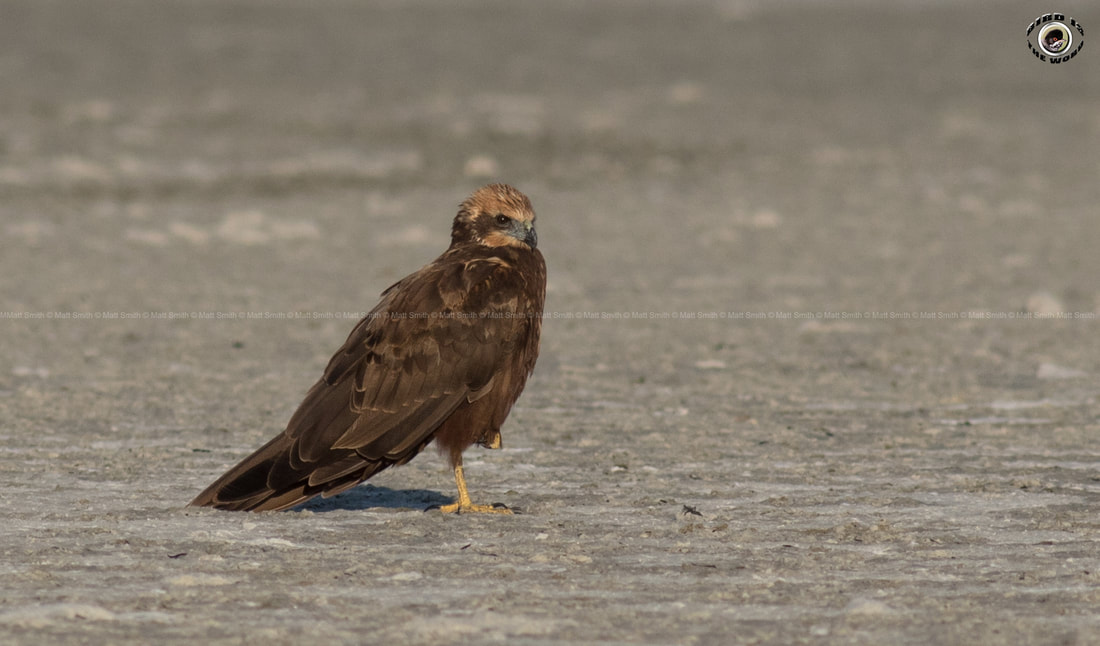 Western Marsh Harrier Cyprus Birding Birdwatching tours ecotours birdlife wildlife