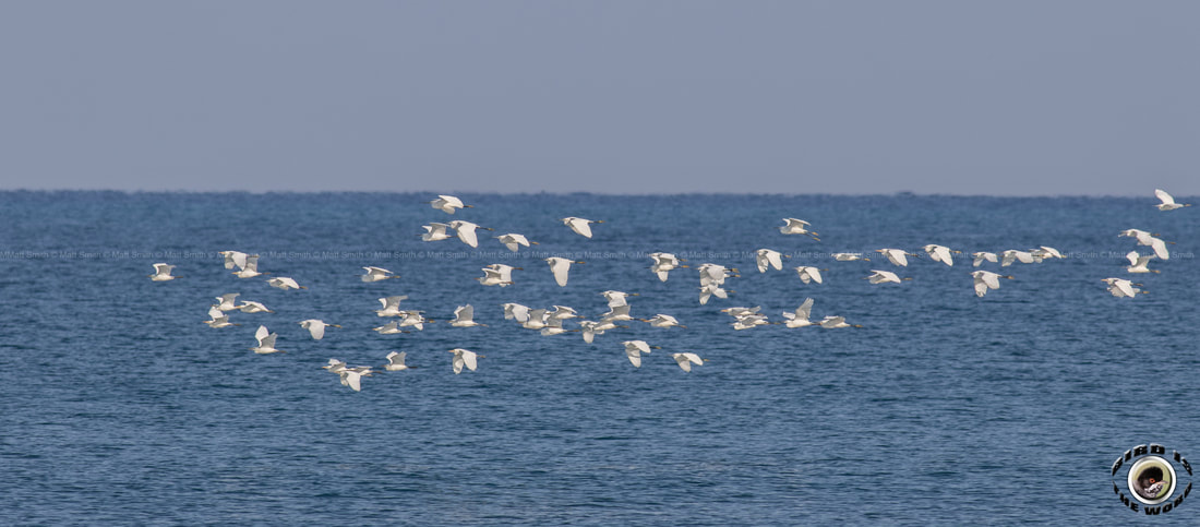 Little Egret Cattle migrating flock Cyprus Birding Birdwatching tours ecotours birdlife wildlife
