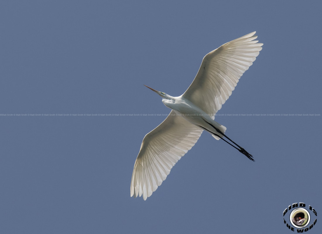 Great Egret Cyprus Birding Birdwatching tours ecotours birdlife wildlife