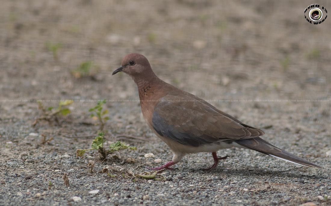 Laughing Dove Cyprus Birding Birdwatching tours ecotours birdlife wildlife