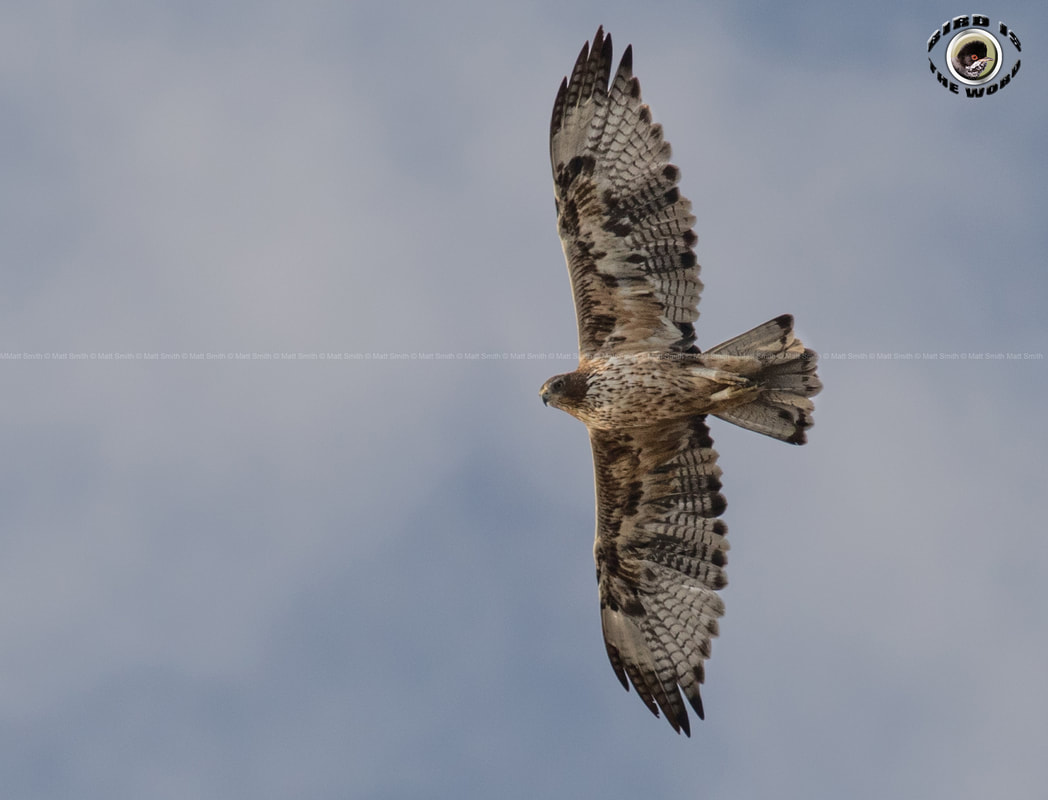 Bonelli's Eagle second plumage Cyprus Birding Birdwatching tours ecotours birdlife wildlife