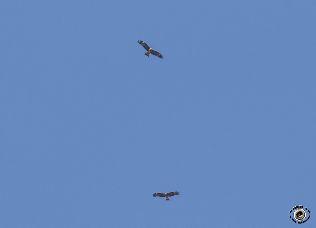 Black Kite migration Cyprus Birding Birdwatching tours ecotours birdlife wildlife