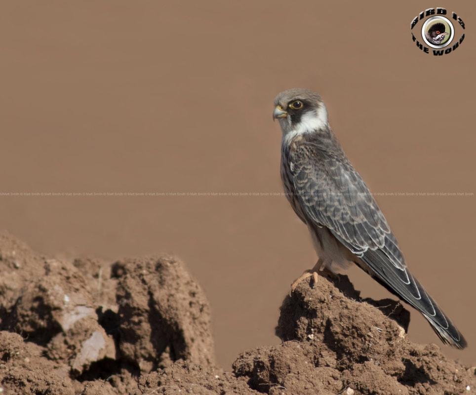 Red-footed Falcon juvenile Cyprus Birding Birdwatching tours ecotours birdlife wildlife