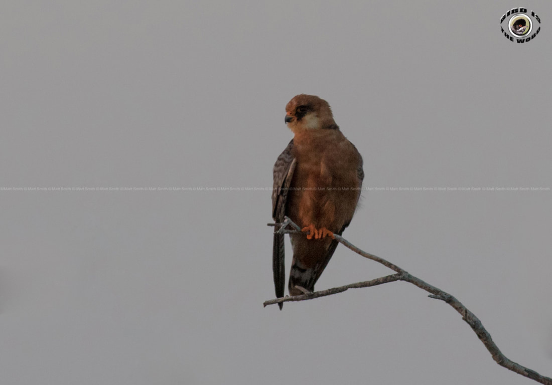 Red-footed Falcon female Cyprus Birding Birdwatching tours ecotours birdlife wildlife