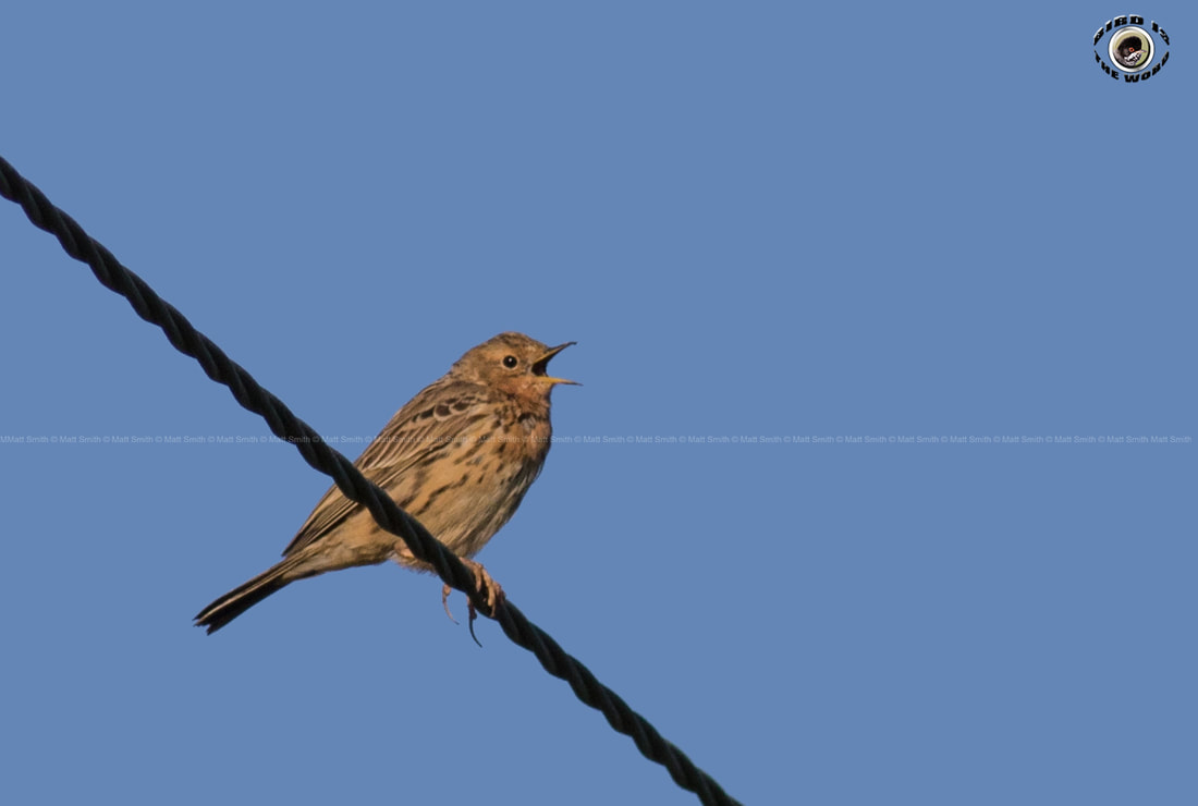 Red-throated Pipit Cyprus Birding Birdwatching tours ecotours birdlife wildlife