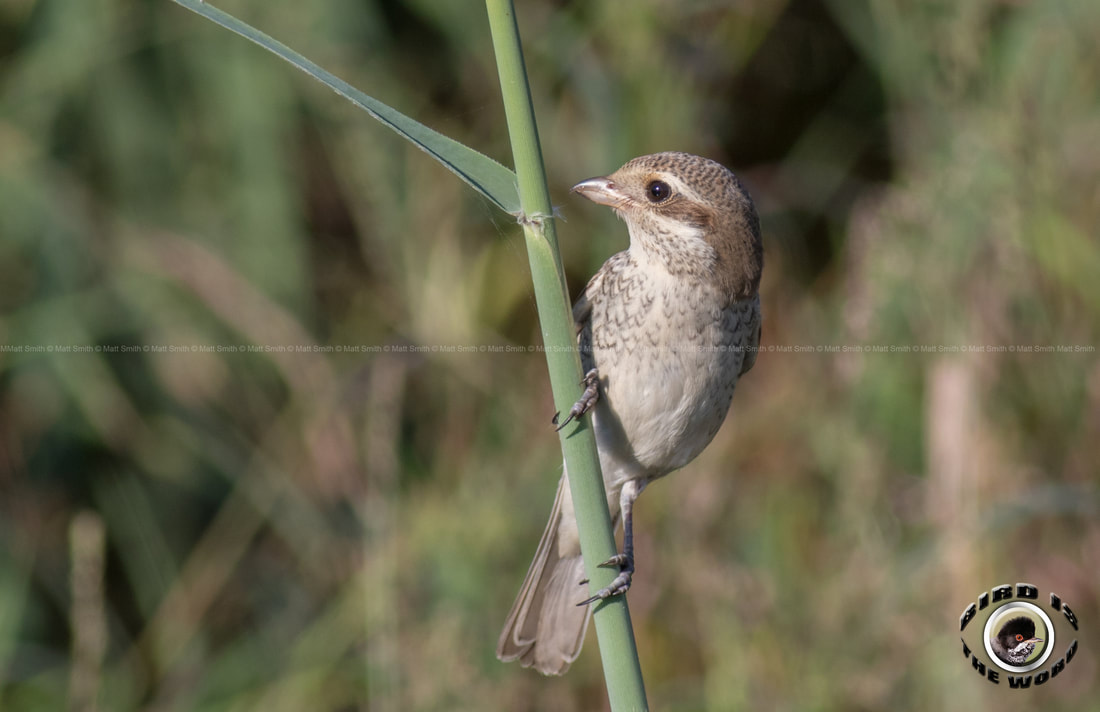 red backed shrike Cyprus Birding Birdwatching tours ecotours birdlife wildlife