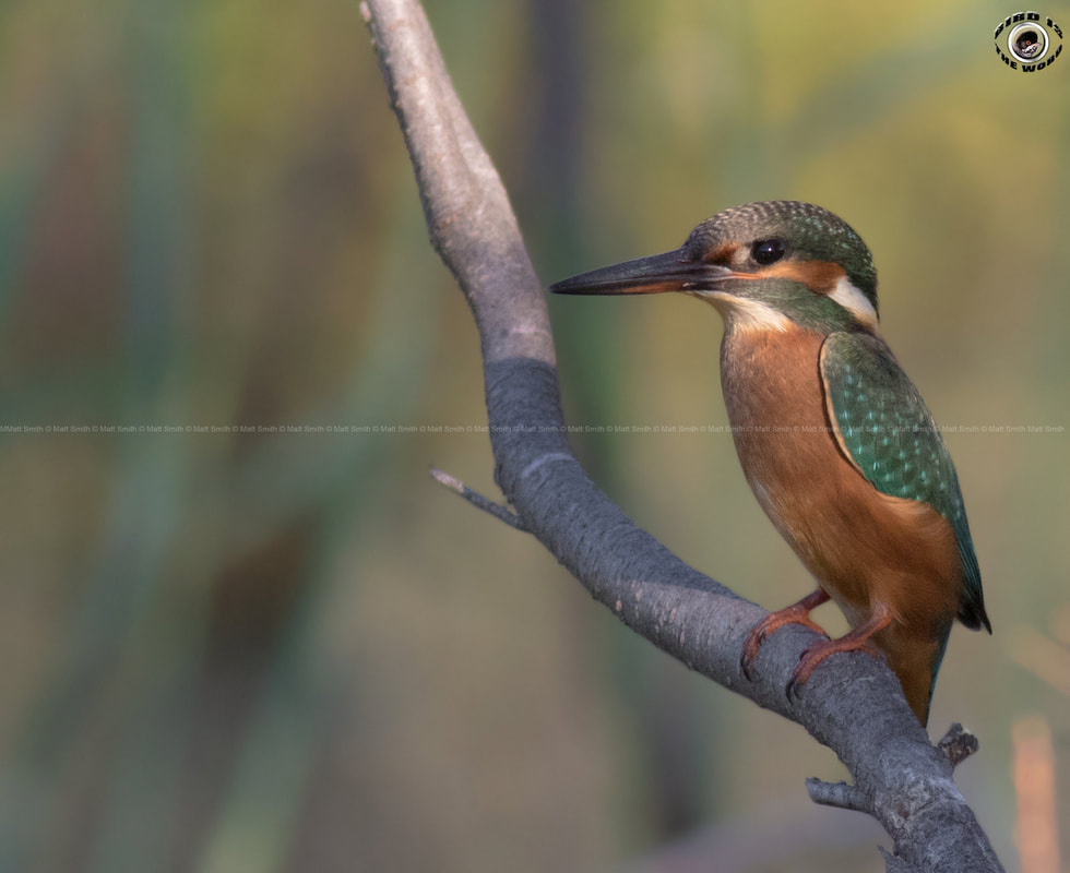 common kingfisher Cyprus Birding Birdwatching tours ecotours birdlife wildlife