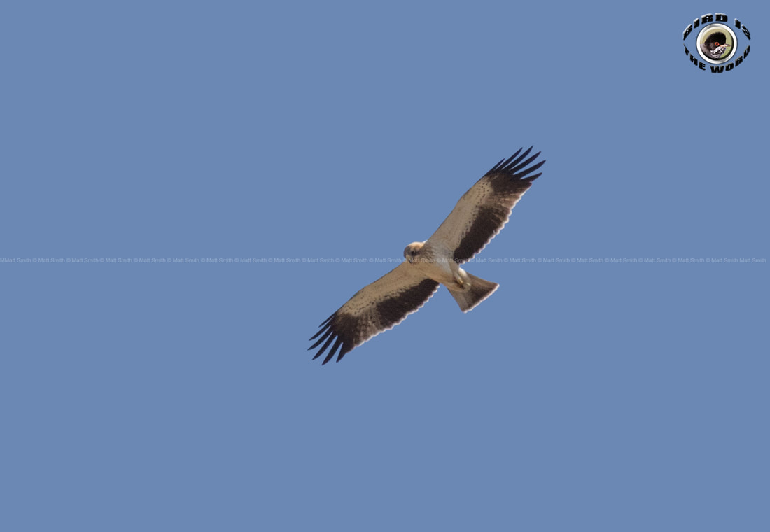 booted eagle Cyprus Birding Birdwatching tours ecotours birdlife wildlife