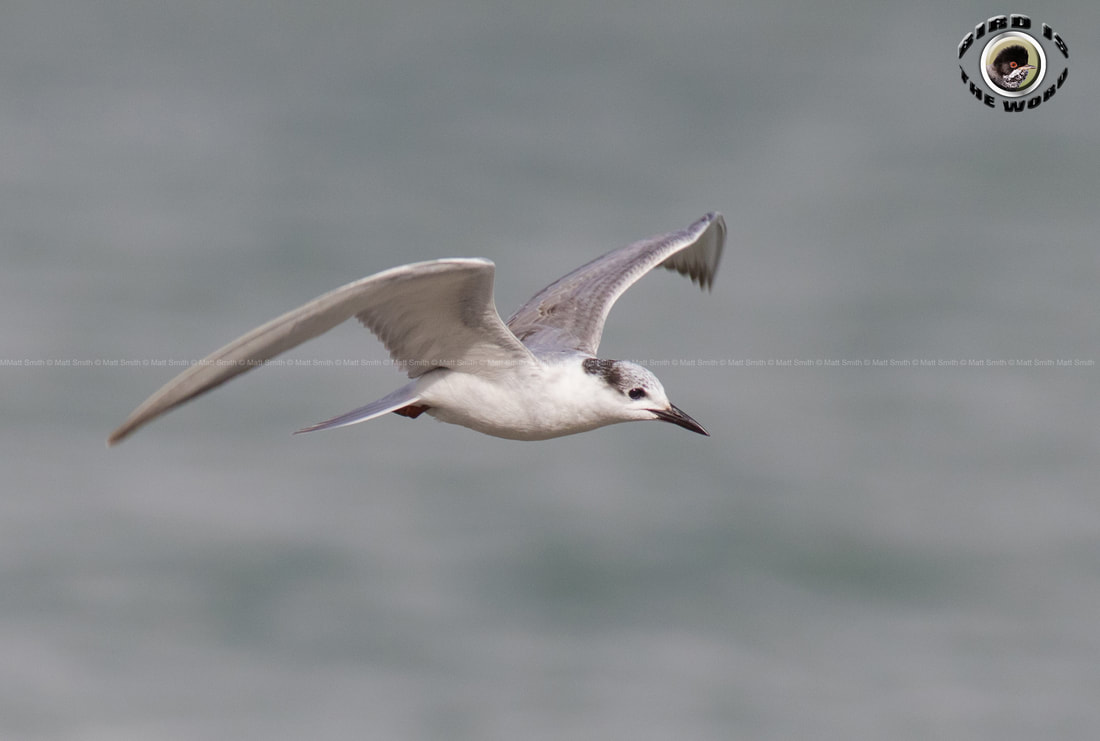 whiskered tern Cyprus Birding Birdwatching tours ecotours birdlife wildlife