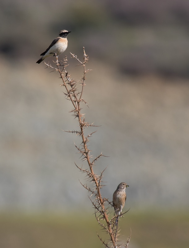 Eastern Black-eared Wheatear Common Linnet Cyprus Birding Birdwatching tours ecotours birdlife wildlife
