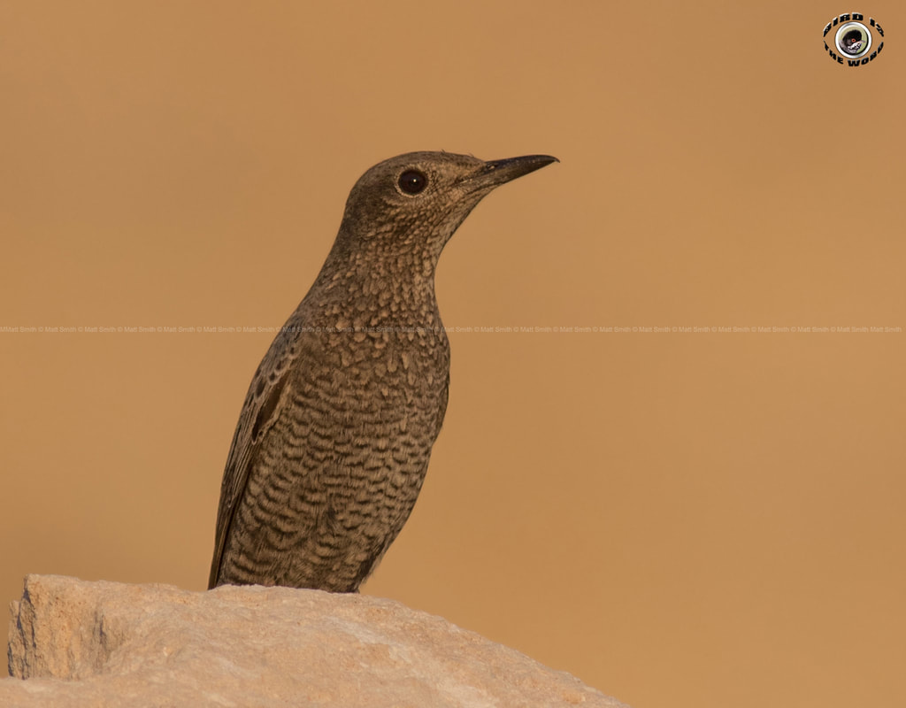 blue rock thrush Cyprus Birding Birdwatching tours ecotours birdlife wildlife