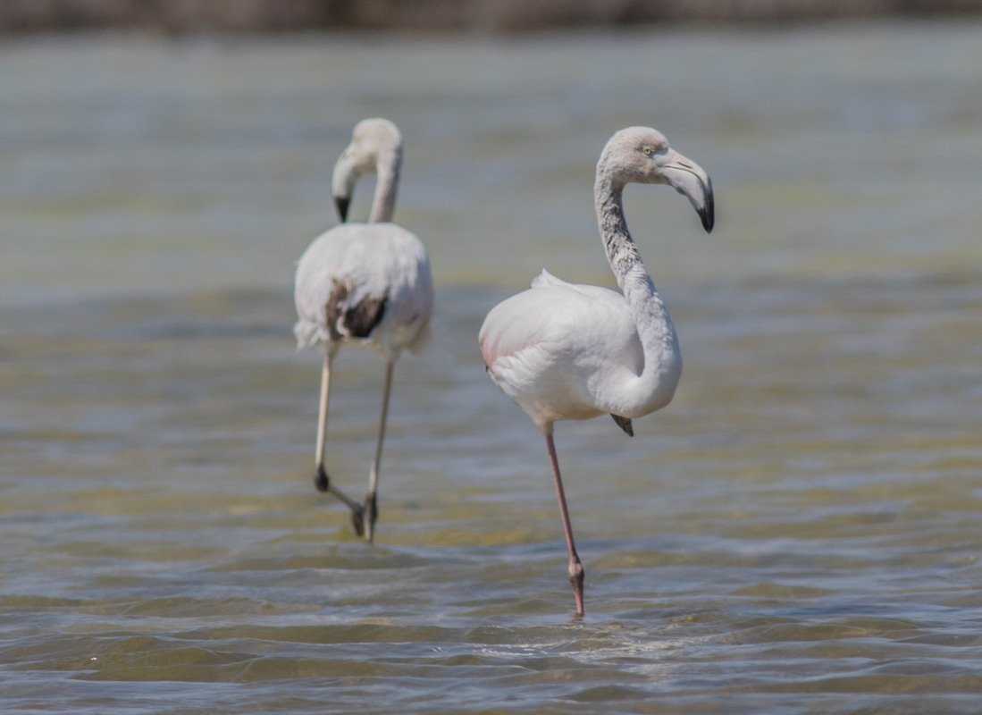 Greater Flamingo Cyprus Birding Birdwatching tours ecotours birdlife wildlife