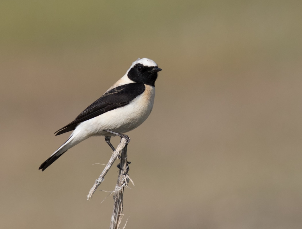 Eastern Black-eared Wheatear Cyprus Birding Birdwatching tours ecotours birdlife wildlife