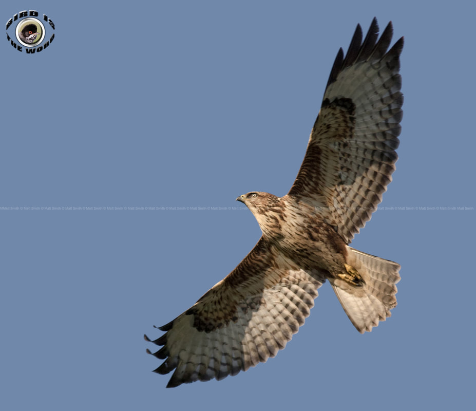 common buzzard Cyprus Birding Birdwatching tours ecotours birdlife wildlife