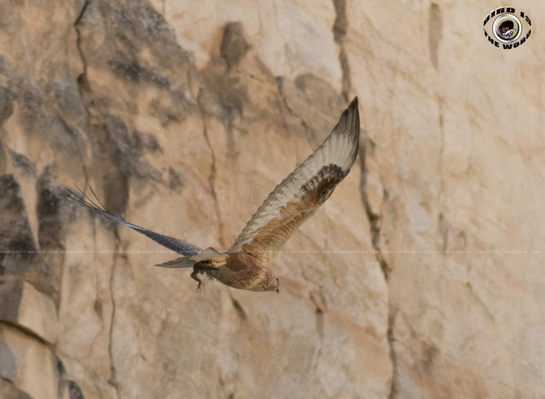 Long legged buzzard + sling tailed agama lizard Cyprus Birding Birdwatching tours ecotours birdlife wildlife