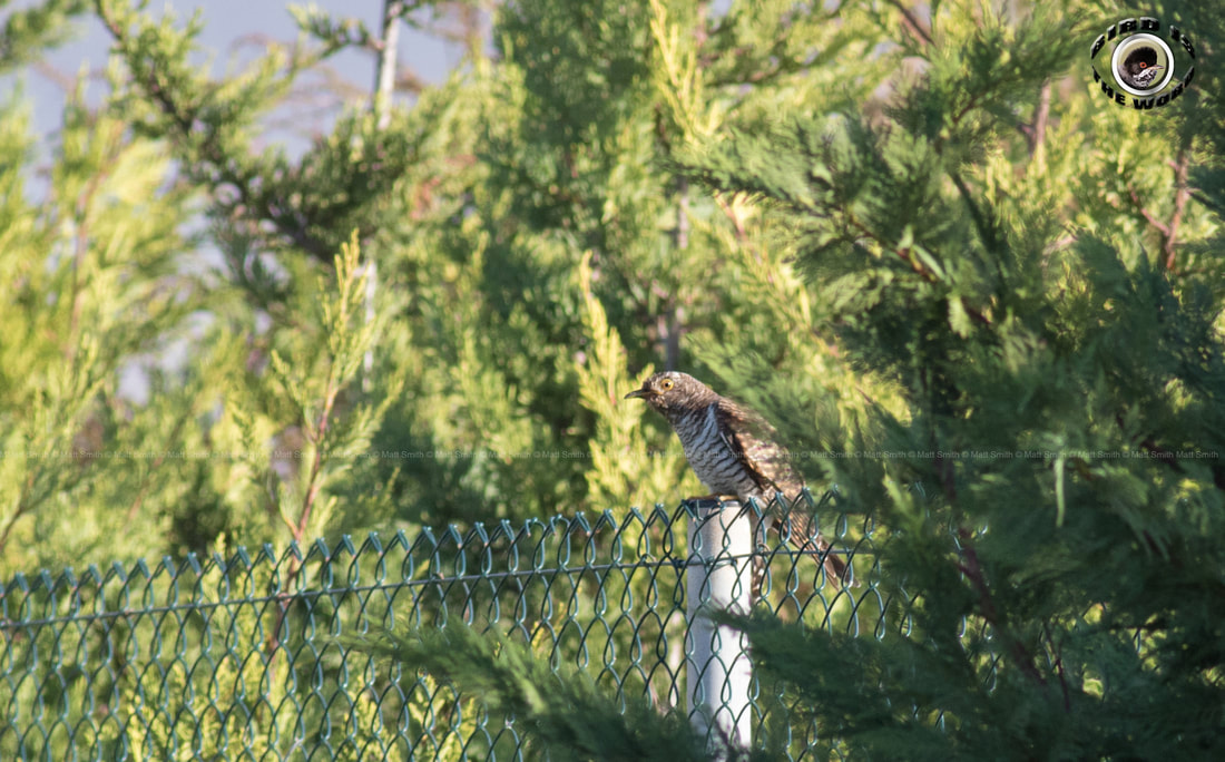 common cuckoo Cyprus Birding Birdwatching tours ecotours birdlife wildlife