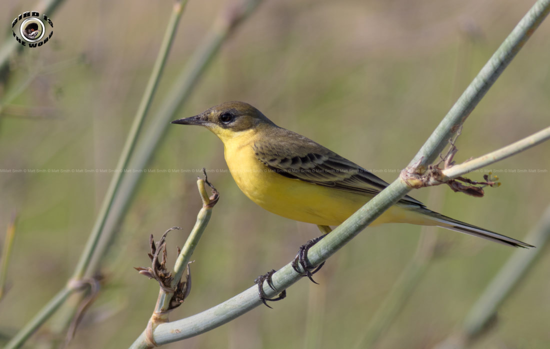 Black Headed Wagtail Feldegg Cyprus Birding Birdwatching tours ecotours birdlife wildlife