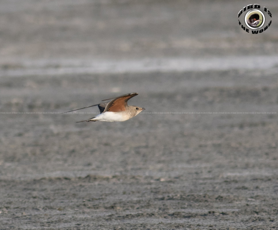 Collared Pratincole Cyprus Birding Birdwatching tours ecotours birdlife wildlife