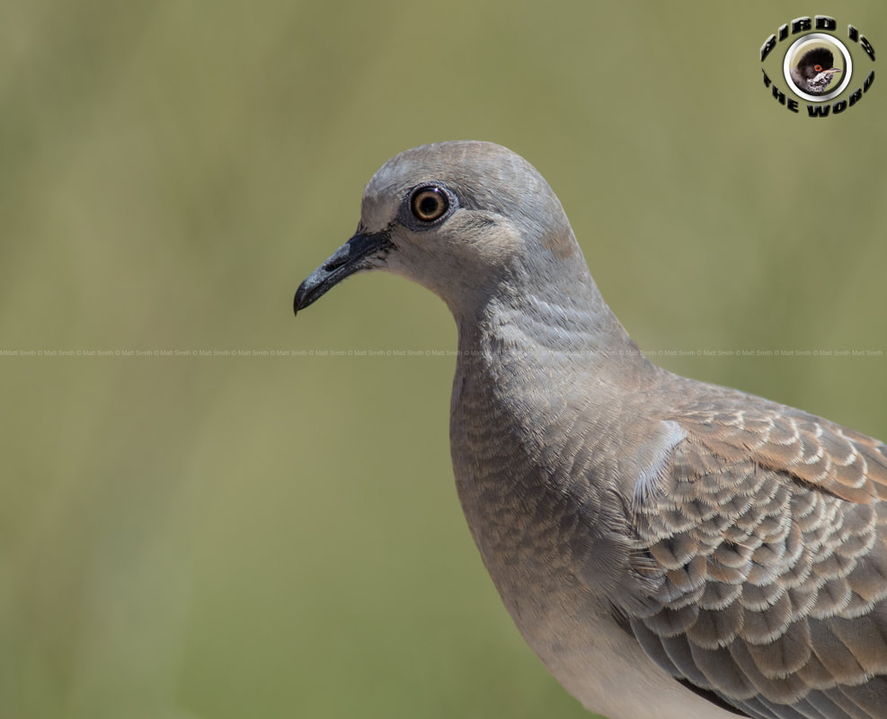 European Turtle Dove Cyprus Birding Birdwatching tours ecotours birdlife wildlife