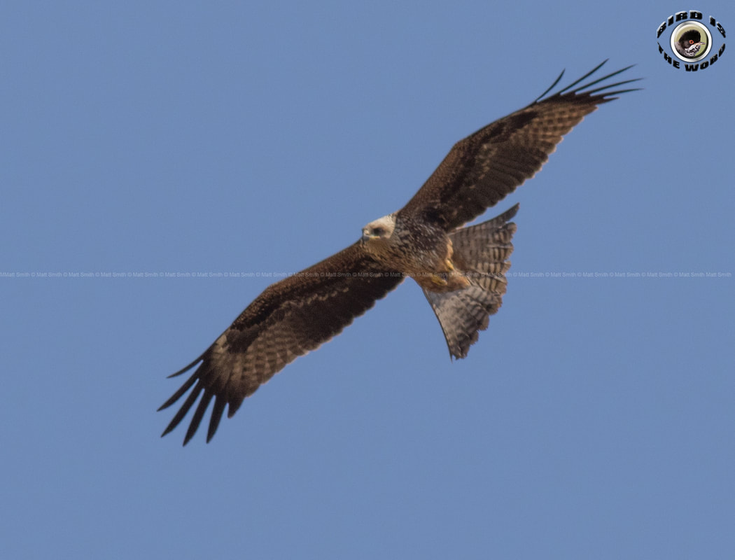 Black Kite Cyprus Birding Birdwatching tours ecotours birdlife wildlife