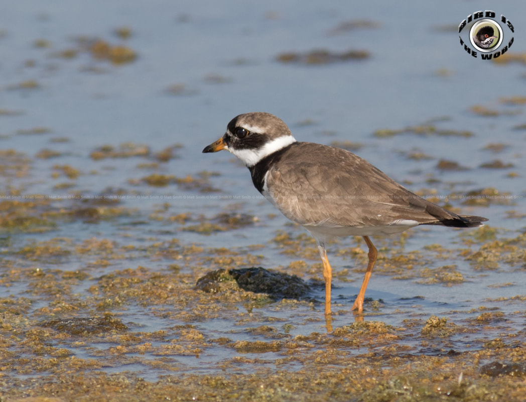 Common Ringed Plover Cyprus Birding Birdwatching tours ecotours birdlife wildlife