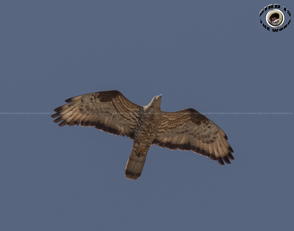 European Honey Buzzard Cyprus Birding Birdwatching tours ecotours birdlife wildlife