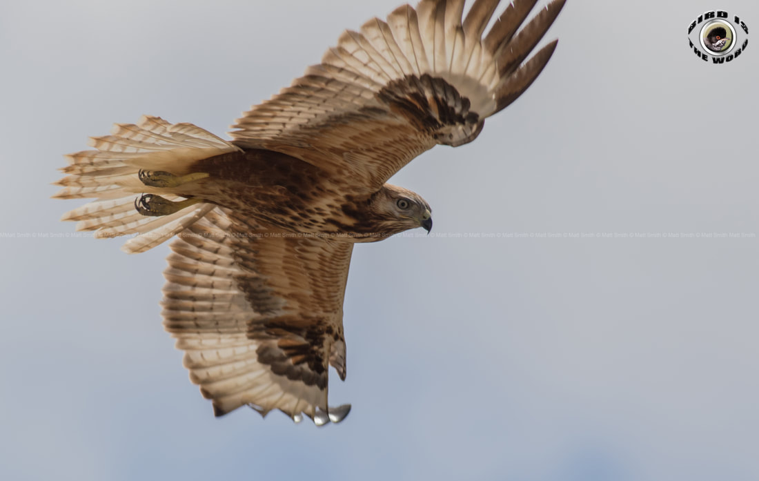 Long Legged Buzzard Cyprus Birding Birdwatching tours ecotours birdlife wildlife