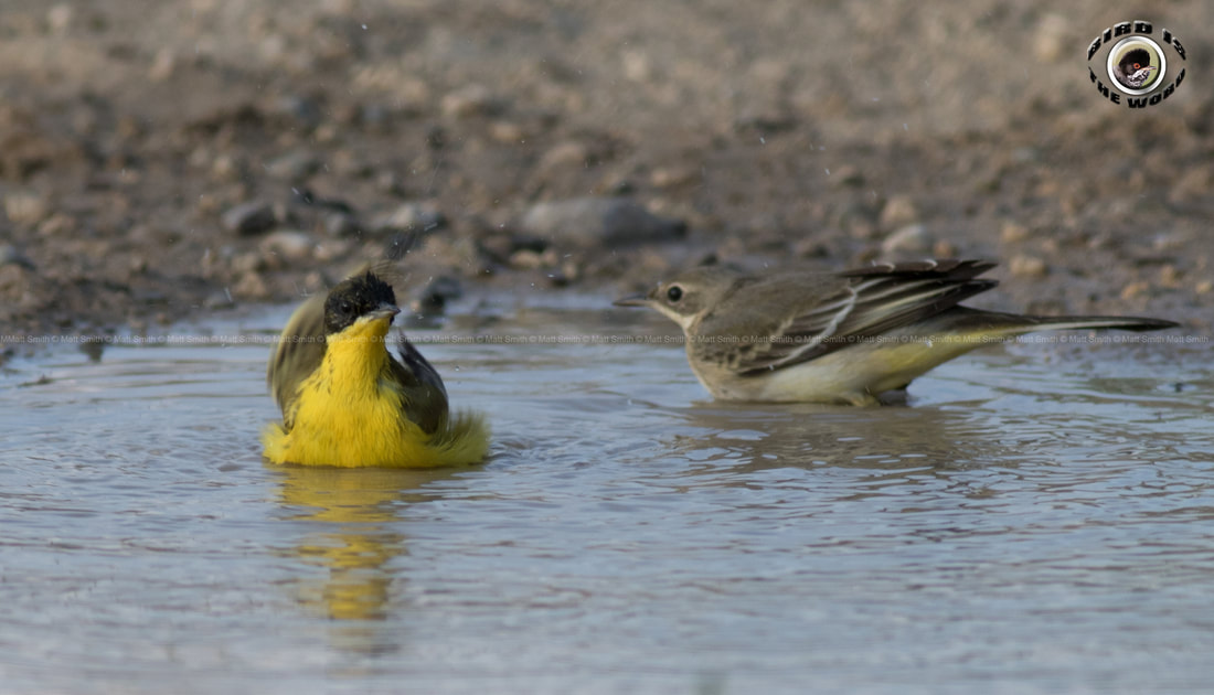 Yellow Wagtail Black Headed Feldegg Cyprus Birding Birdwatching tours ecotours birdlife wildlife