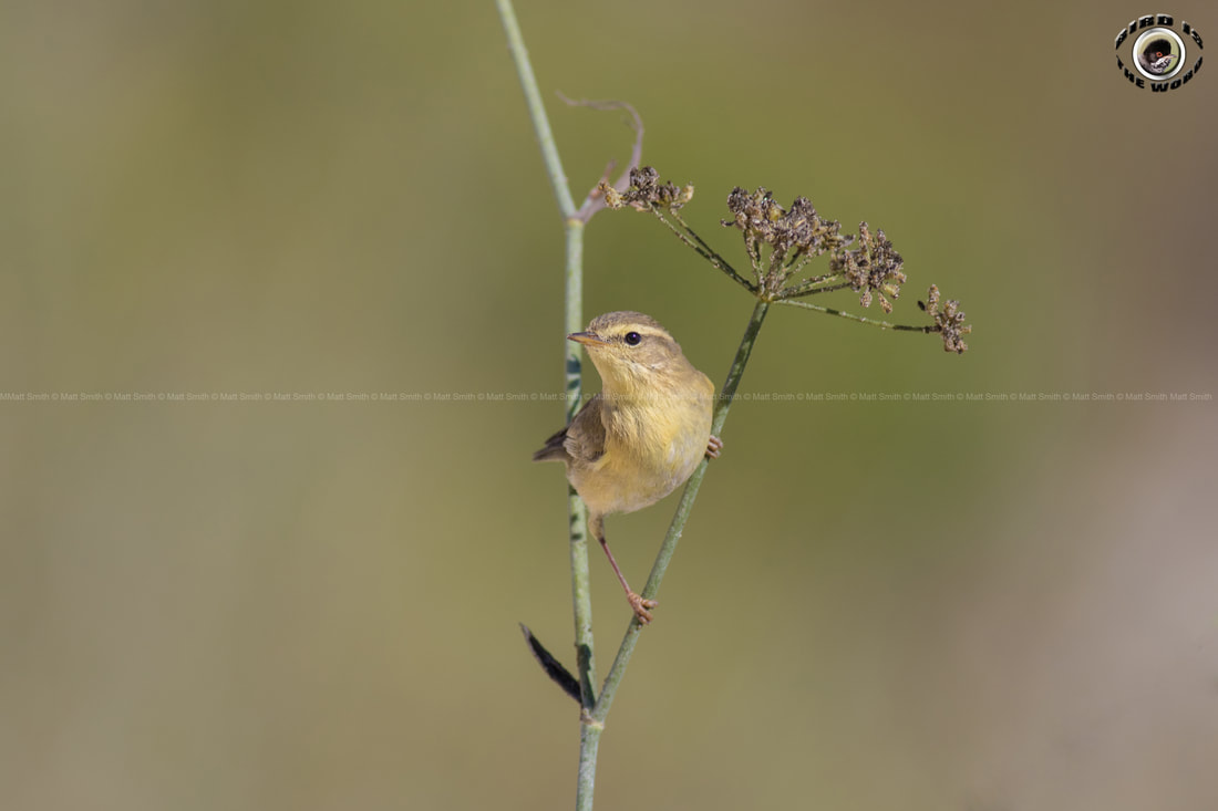 Willow Warbler Cyprus Birding Birdwatching tours ecotours birdlife wildlife