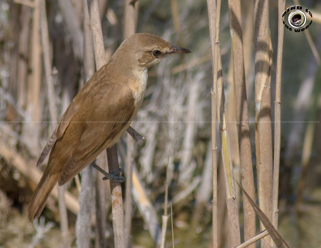 Great Reed Warbler Cyprus Birding Birdwatching tours ecotours birdlife wildlife