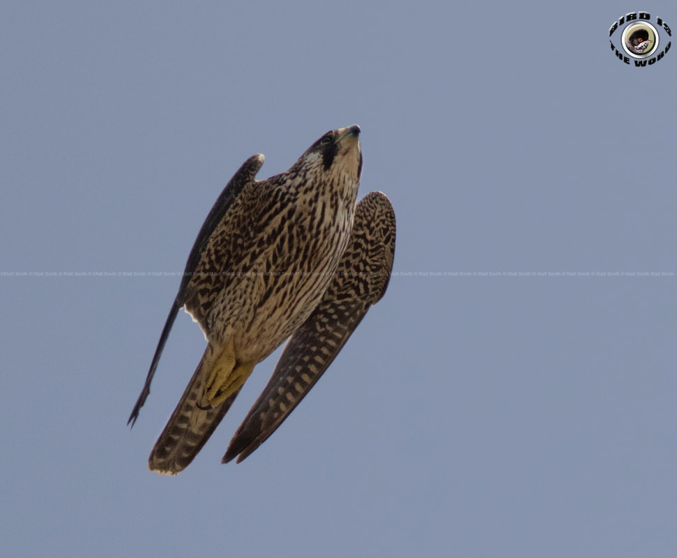Peregrine Falcon diving Cyprus Birding Birdwatching tours ecotours birdlife wildlife