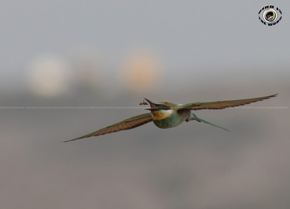 European Bee-eater eating Cyprus Birding Birdwatching tours ecotours birdlife wildlife