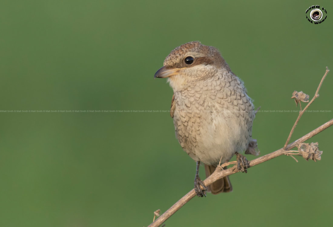 Red-backed Shrike Cyprus Birding Birdwatching tours ecotours birdlife wildlife