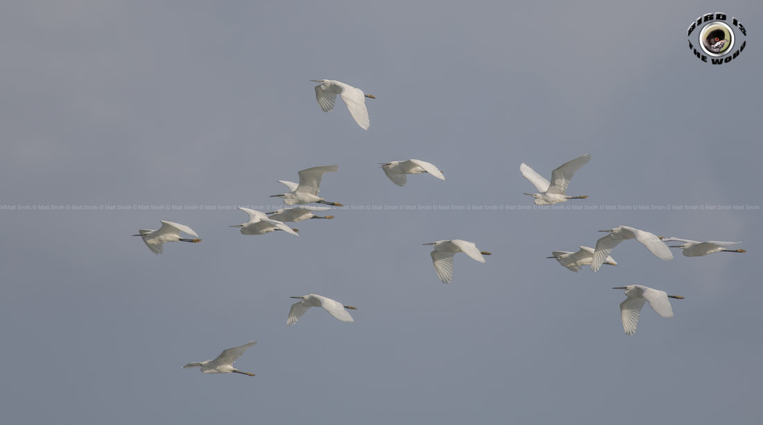 Little Egret migration Cyprus Birding Birdwatching tours ecotours birdlife wildlife