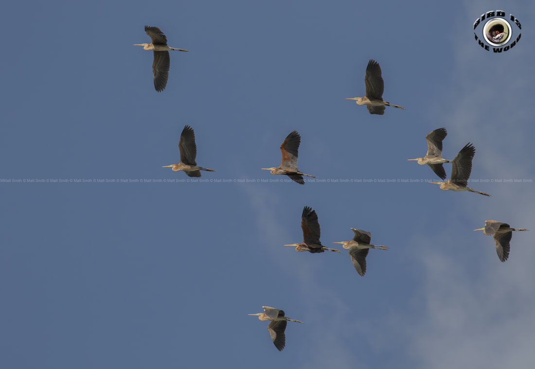 Purple Heron migration Cyprus Birding Birdwatching tours ecotours birdlife wildlife