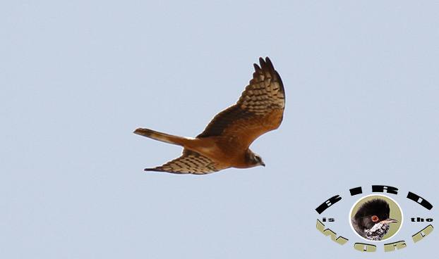 Montagu's Harrier Cyprus Birding Tours Cyprus Bird Watching Tours Cyprus Bird Watching Cyprus Birding Cyprus Birding Guide Cyprus Ornithological Tours